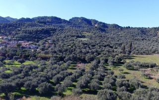 Olive trees Lianos - Ελαιώνας Λιανός